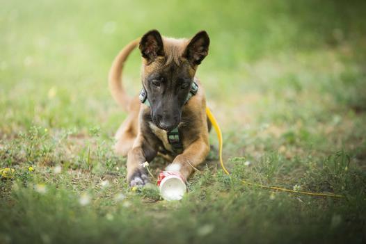 Cena owczarka belgijskiego - sprawdź, ile kosztuje szczeniak z hodowli