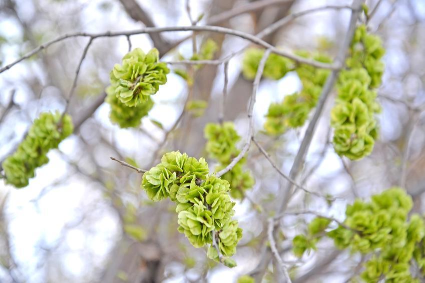 Wiąz turkiestanu w czasie zielonych liści w ogrodzie, a także cena za sadzonki na żywopłot