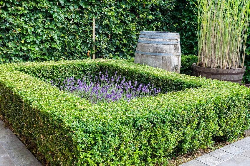 Ciekawa aranżacja z żywopłotem bukszpanowym w ogrodzie, a także jak sadzić żywopłot z bukszpanu