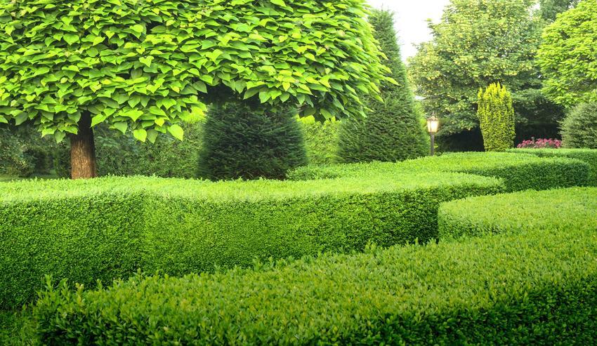 Żywopłot z bukszpanu na tle drzew ogrodzie oraz porady, jak sadzić żywopłot