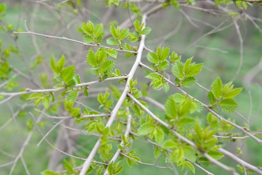 Wiąz syberyjski krok po kroku, czyli sadzenie, uprawa oraz żywopłot z wiązu