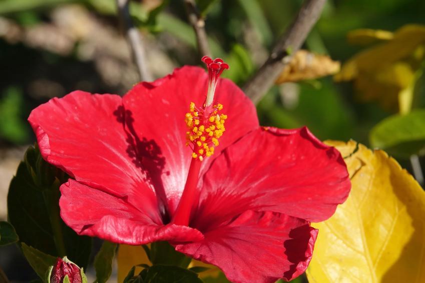 Czerwona ketmia róża chińska w ogrodzie w czasie kwitnienia, a także jej uprawa w domu i w ogrodzie