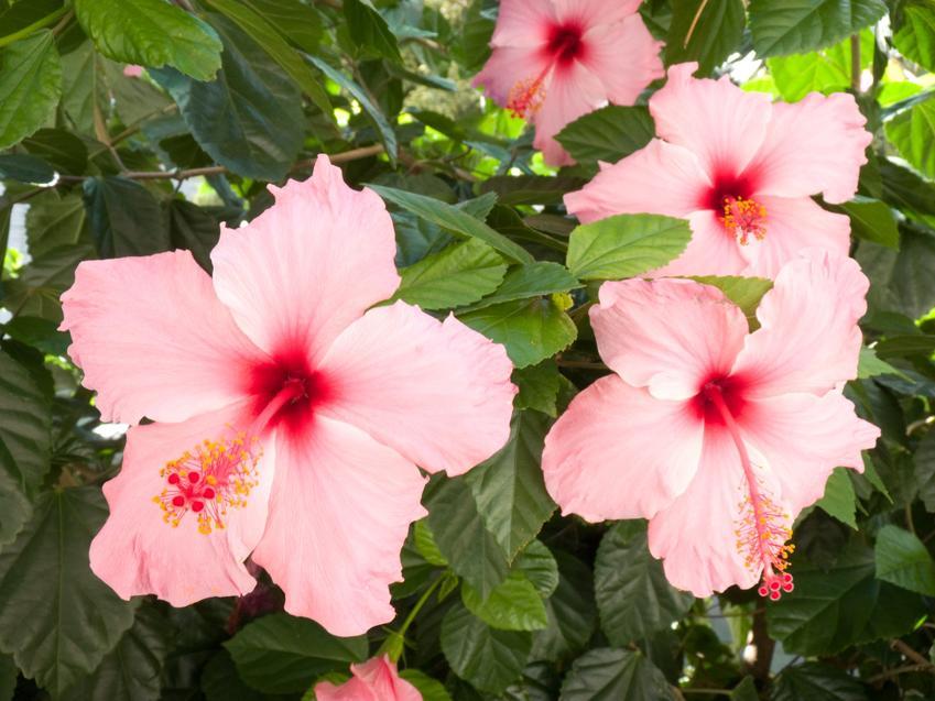 Ketmia róża chińska w czasie kwitnienia w ogrodzie oraz jej uprawa także w domu