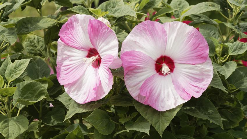 Ketmia bagienna w czasie kwitnienia, czylil hibiskus bylinowy, jego uprawa i pielęgnacja