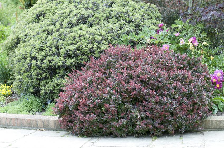 Krzew berberys w ogrodzie na tle zielonego krzewu oraz polecane odmiany berberysów