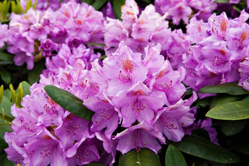Zbliżenie na kwiaty rododendrona w czasie kwitnienia, a także kwitnienie rododendrona i jak długo kwitnie rododendron