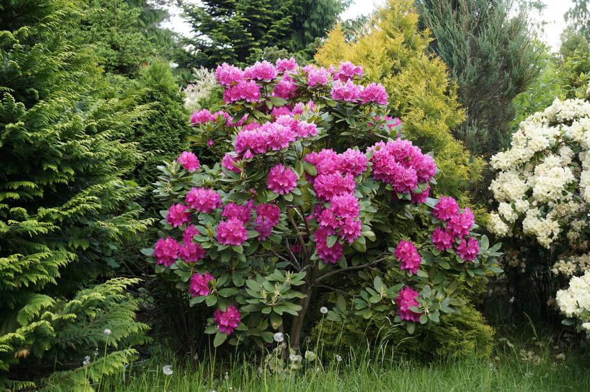Rododendron w ogrodzie podczas kwitnienia, czyli kwitnienie rododendrona i jak długo kwitnie rododendron