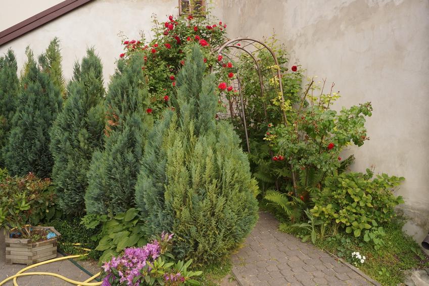 Tuje posadzone w ogrodzie przydomowym, a także informacje, kiedy sadzić tuje i jak sadzić tuje
