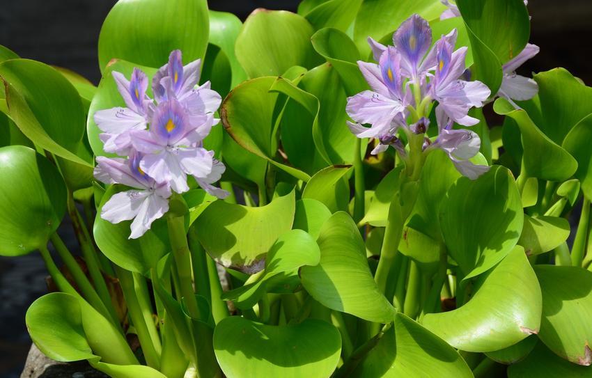 Hiacynt wodny w oczku wodnym w czasie kwitnienia oraz uprawa hiacynta wodnego