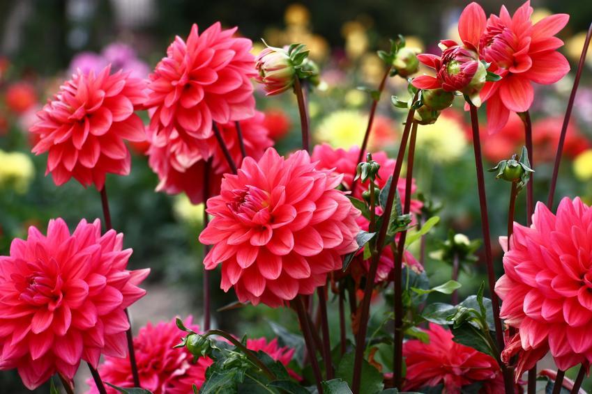 Dalia ogrodowa w czasie kwitnienia, a także dalia ogrodowa, sadzenie dalii ogrodowej i zasady jej uprawy