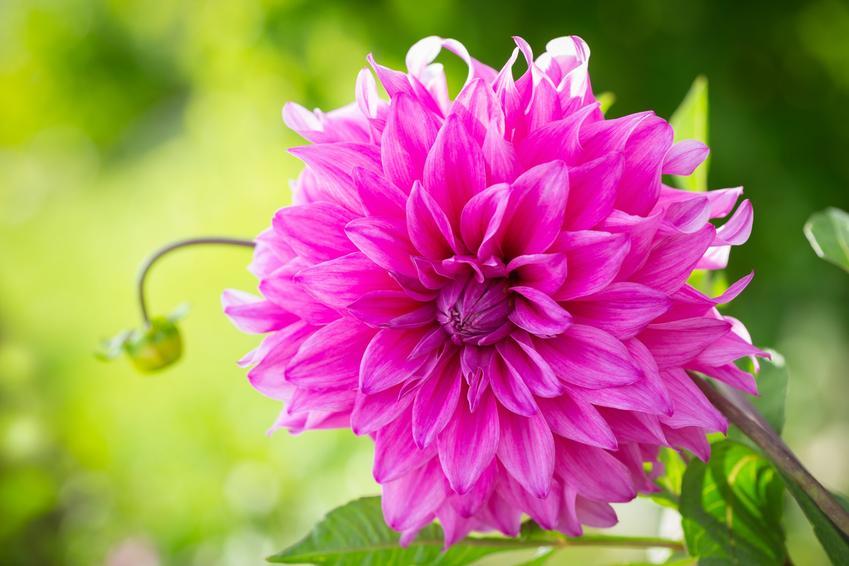 Kwiat dalia ogrodowa różowa, a także sadzenie dalii ogrodowej krok po kroku
