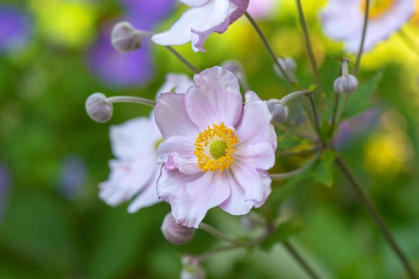 Kwiat zawilec w czasie kwitnienia, a także jego odmiany Zawilec anemon i jego odmiany, jak zawilec japoński, zawilec ogrodowy, zawilec wielokwiatowy i inne