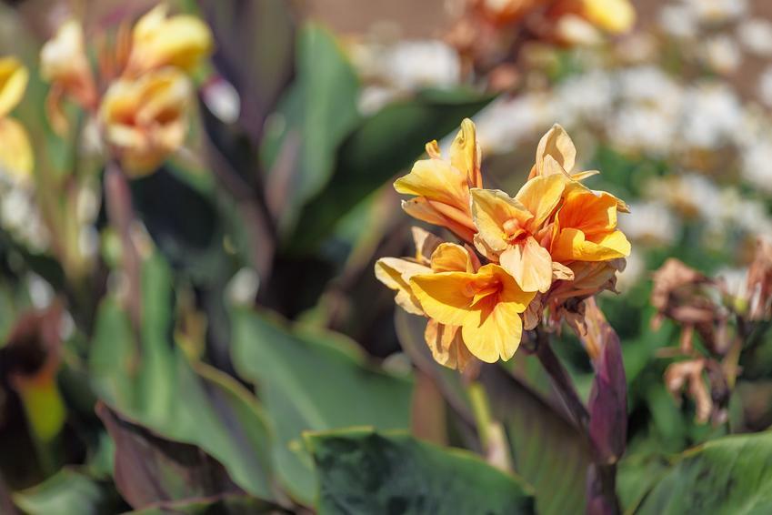 Kwiat kanna w czasie kwitnienia, a także paciorecznik ogrodowy oraz jego uprawa i pielęgnacja