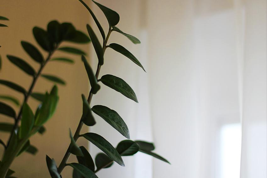 Zamikulkas zamiolistny i jego liście, a także podlewanie zamiokulkasa zamiolistnego krok po kroku