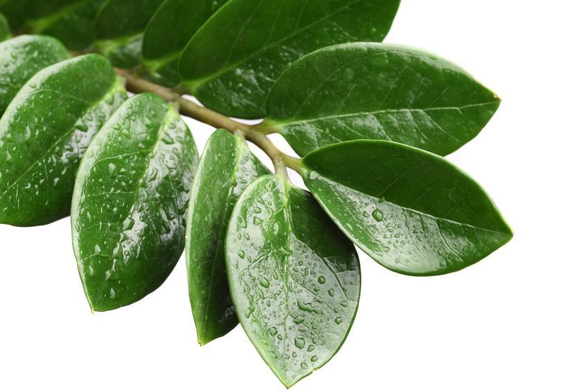 Mokre liście kwiatu domowego, jakim jest zamiokulkas zamiolistny, a także zamiokulkas trujący
