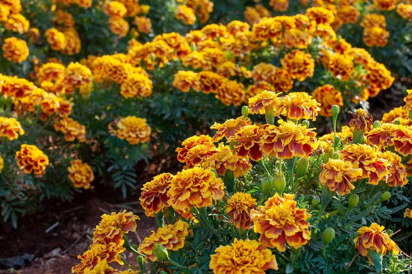 Aksamitka rozpierzchła w czasie kwitnienia na rabacie, a także upawa i pielęgnacja aksamitki