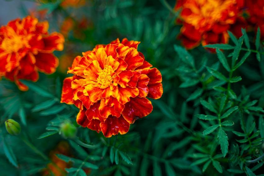 Aksamitka rozpierzchła i zbliżenie na jej kwiat w czasie kwitnienia, a także jej uprawa i pielęgnacja