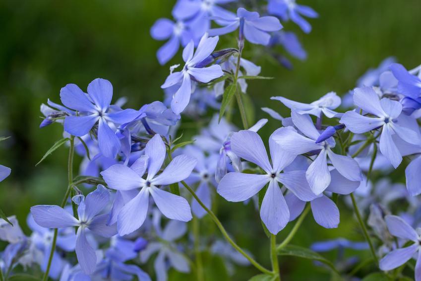 Niebieski floks kanadyjski w czasie kwitnienia, a także floks płożący i ich uprawa