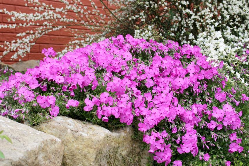 Różowy floks płożący w ogrodzie w czasie kwitnienia, a także floks kanadyjski i ich uprawa