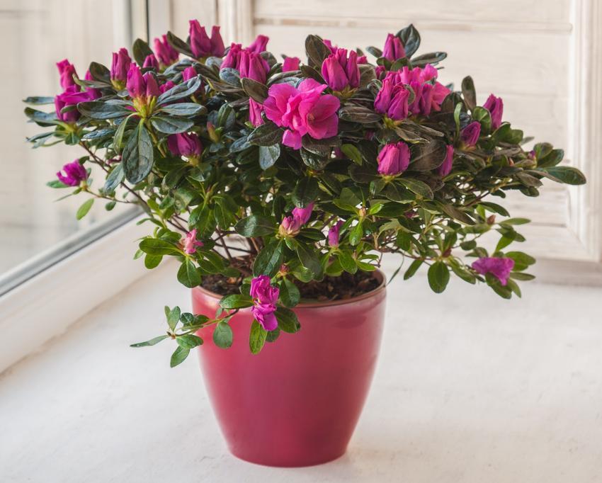 Różowy rododendron w donicy na parapecie w domu, a także uprawa rododendronów w donicach