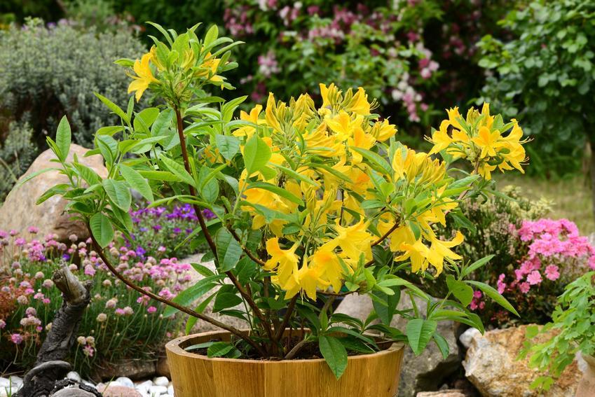 Żółty rododendron w donicy w ogrodzie, a także uprawa rododendronów w donicach