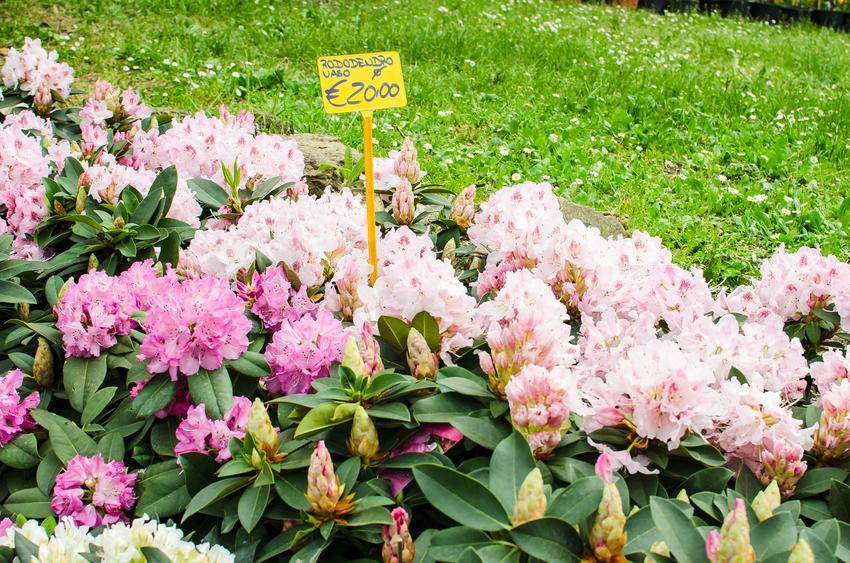Sadzonki rododendronów w ogrodzie z cenami, a także ceny rododendronów czy ceny różaneczników