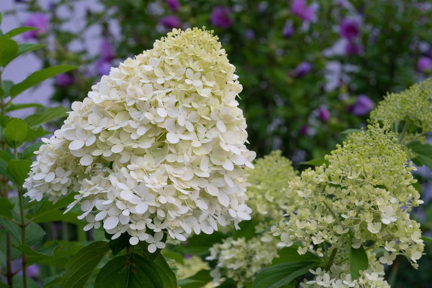 Hortensja bukietowa w czasie kwitnienia w ogrodzie, a także hortensja szczepiona na pniu