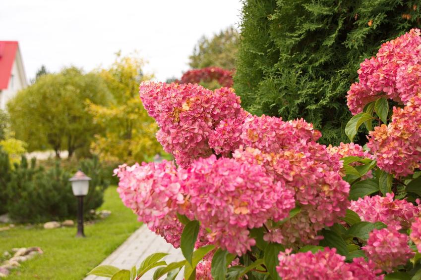 Hortensja vanille fraise w czasie kwitnienia w ogrodzie, czyli polecana hortensja bukietowa