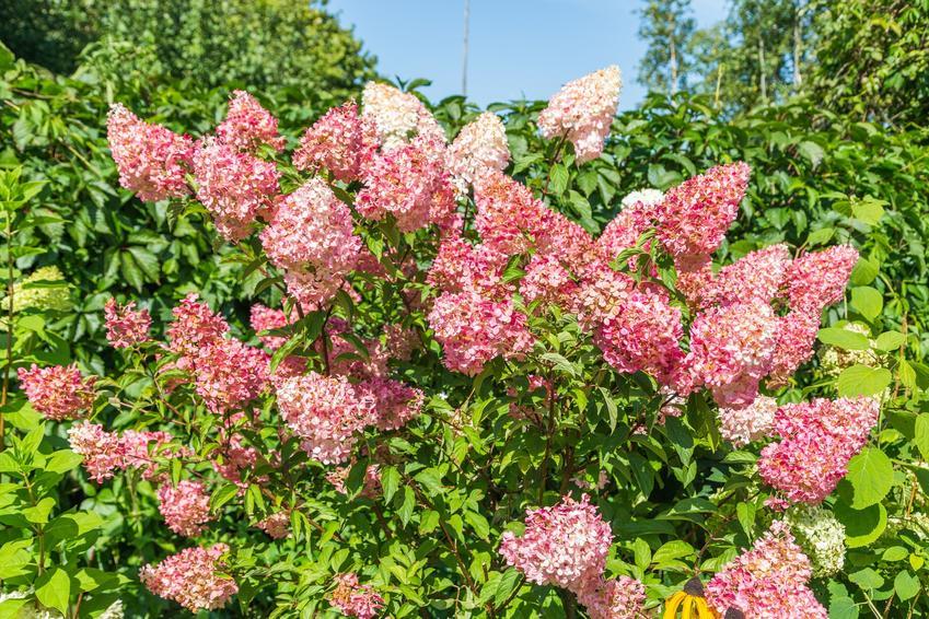 Hortensja vanille fraise kwitnąca na różowo w ogrodzie, a także hortensja bukietowa i jej uprawa