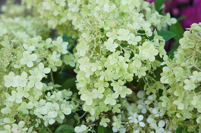 Hortensja magical moonlight jako hortensja bukietowa w czasie kwitnienia w ogrodzie oraz jej uprawa