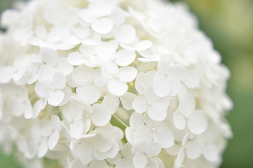 Hortensja ogrodowa biała i zbliżenie na kwiat w ogrodzie, a także jej odmiany i uprawa