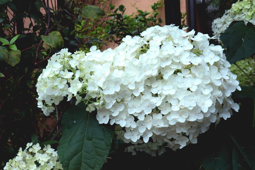 Hortensja biała w czasie kwitnienia w ogrodzie, a także jej odmiany i uprawa