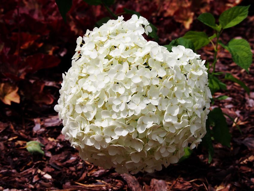 Hortensja drzewiasta hortensja anabelle w czasie kwitnienia, czyli hydrangea arborescens i jej uprawa