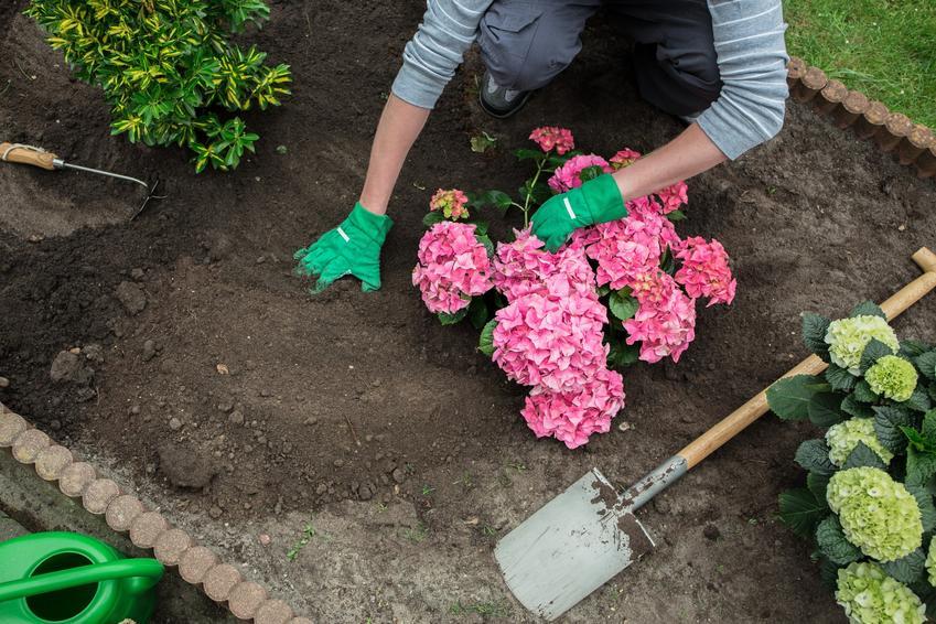 Różowe hortensje podczas sadzenia w ogrodzie, a także nawóz do hortensji i ich nawożenie