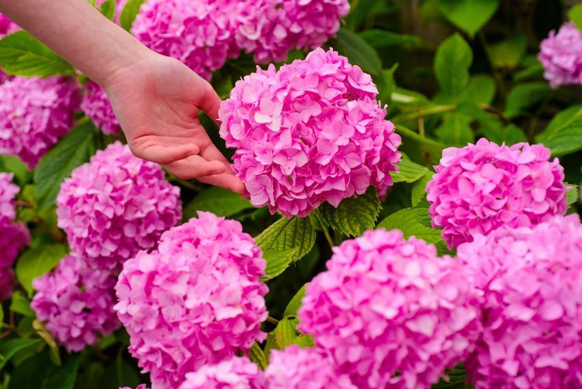 Różowe hortensje w czasie kwitnienia w ogrodzie, a także nawóz do hortensji i ich nawożenie
