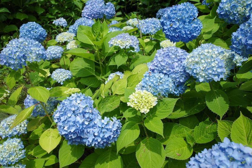 Hortensja niebieska w czasie kwitnienia w ogrodzie, a także jej odmiany, sadzenie, uprawa i pielęgnacja