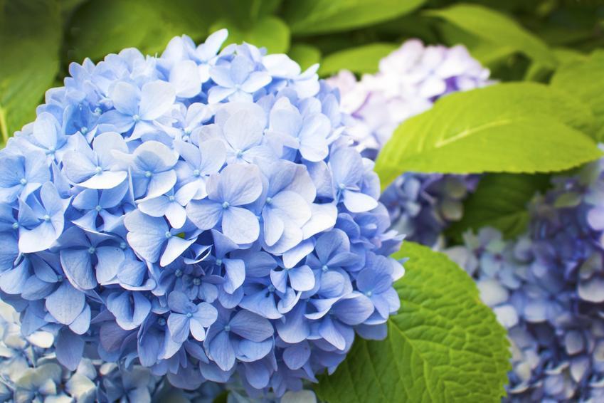 Hortensja niebieska ogrodowa w czasie kwitnienia i zbliżenie na kwiaty, a także uprawa i pielęgnacja
