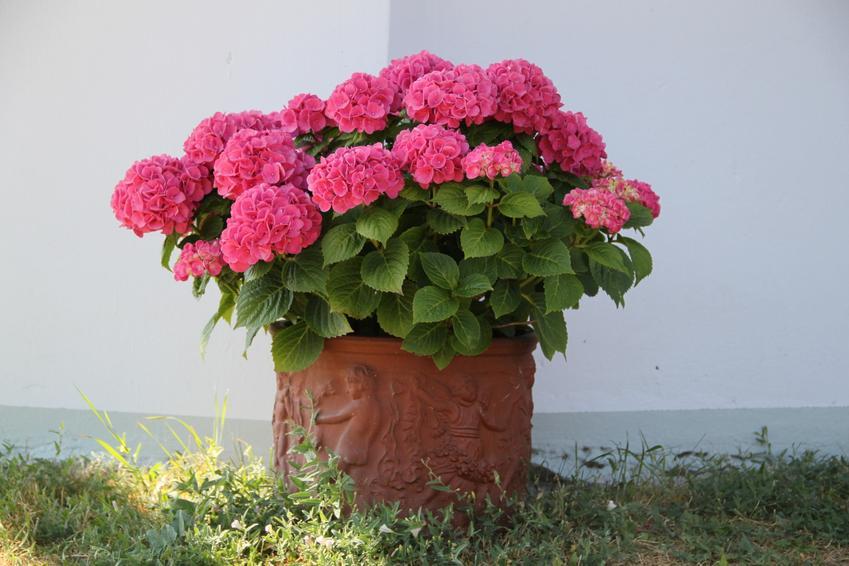 Różowa hortensja doniczkowa przed domem, a także jej podlewanie, uprawa i pielęgnacja
