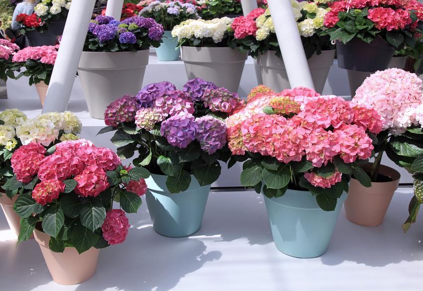 Różne kolory hortensji doniczkowej w doniczkach, a także jej uprawa i pielęgnacja