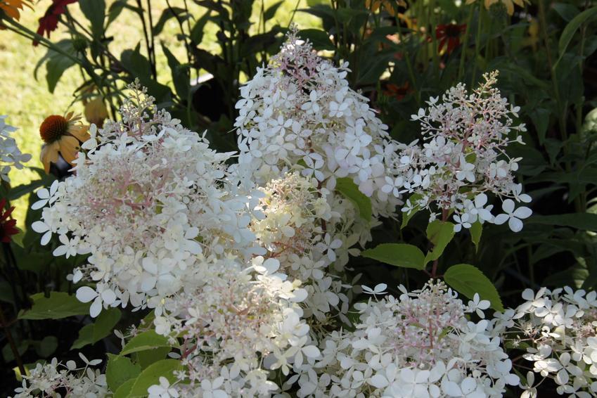 Hortensja phantom w czasie kwitnienia oraz hydrangea paniculata phantom i jej uprawa