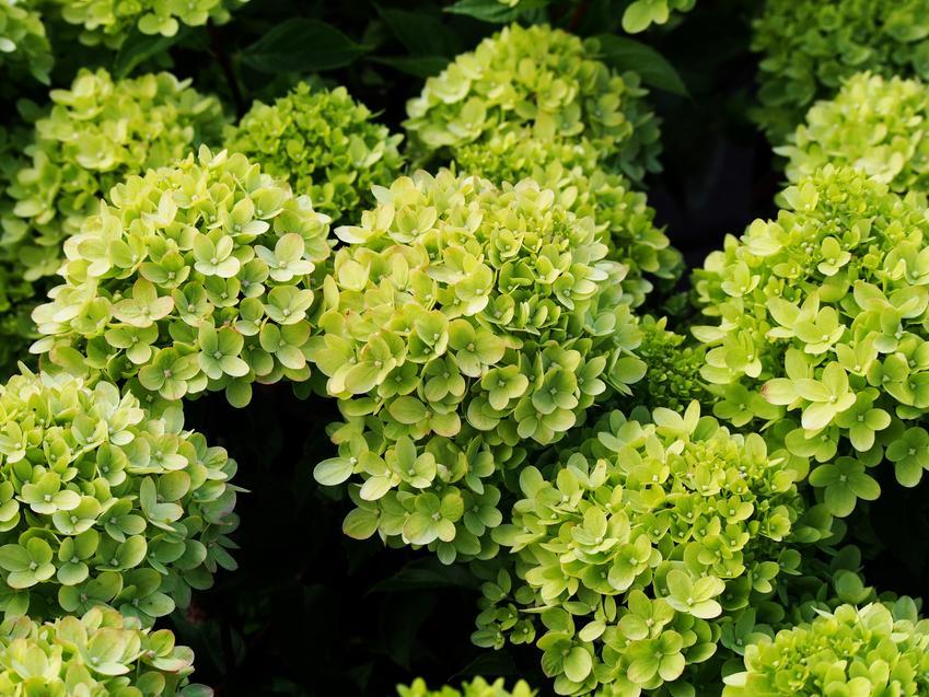 Hortensja limelight w czasie kwitnienia, a także hortensja bukietowa limelight i jej uprawa