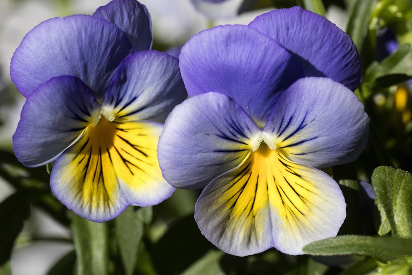 Bratek lub fiołek trójbarwny i zbliżenie na kwiaty, a także jego zastosowanie i właściwości