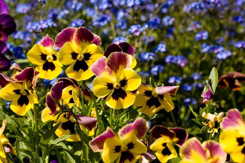 Fiołek trójbarwny w czasie kwitnienia w ogrodzie, a także zastosowanie i właściwoście dla cery