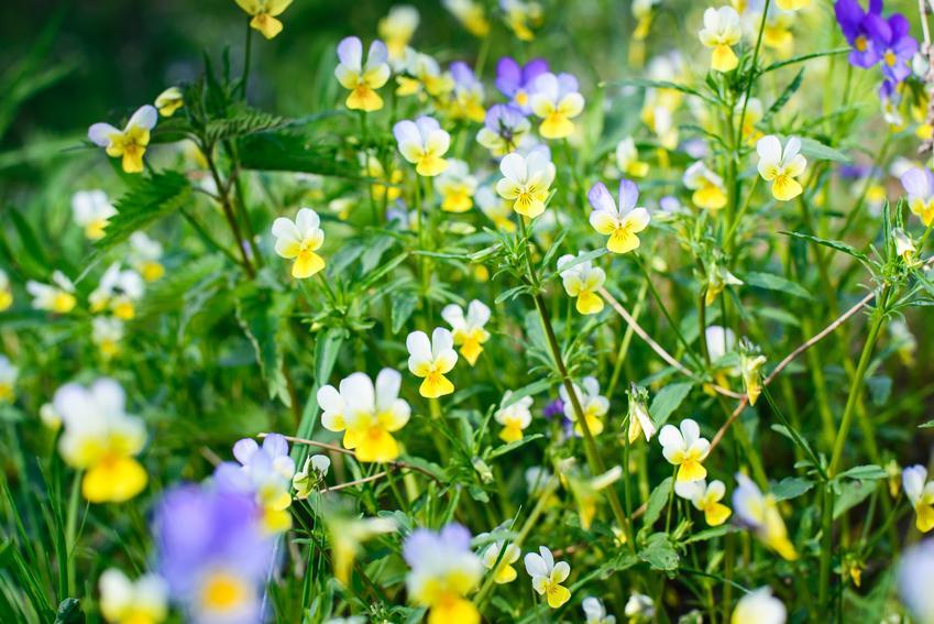 Fiołek polny w czasie kwitnienia, a także zwalczanie fiołka polnego w zbożach