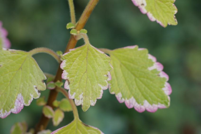 Komarzyca, czyli roślina o zielonych liściach, a także jej uprawa i pielęgnacja w domu