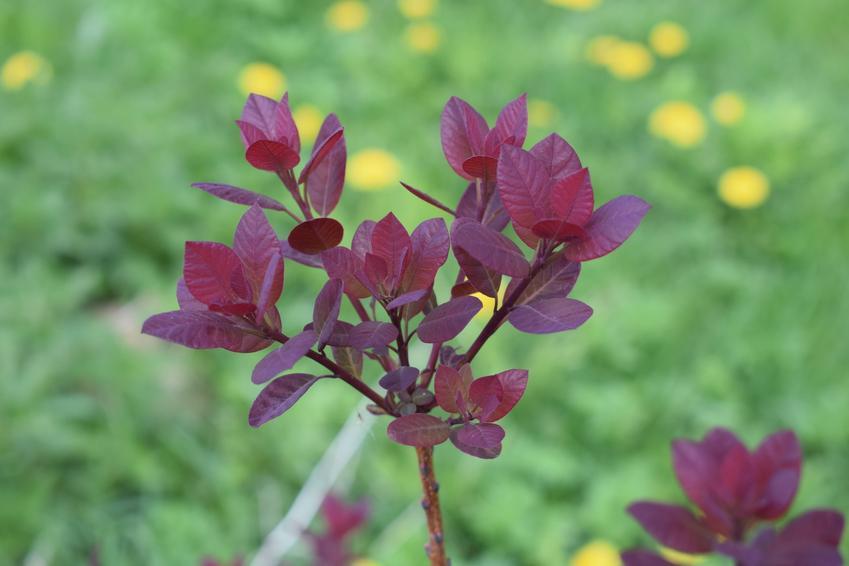 Młody krzew perukowiec podolski w ogrodzie, a także jego uprawa, pielęgnacja i odmiany