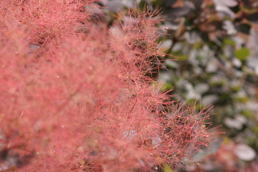 Perukowiec czerwony lub tak zwany perukowiec podolski w ogrodzie, jego sadzenie, uprawa i pielęgnacja