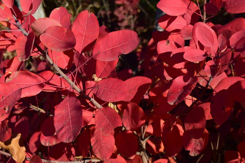 Perukowiec czerwony w ogrodzie, a także perukowiec podolski i zasady uprawy