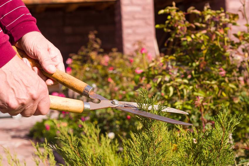 Przycinanie tui sekatorem w ogrodzie oraz porady, kiedy przycinać tuje i jak przycinać tuje
