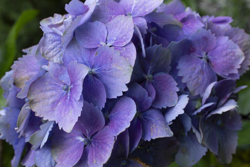 Hortensja piłkowana w czasie kwitnienia i zbliżenie na kwiaty, a także odmiany hortensji piłkowanej i uprawa